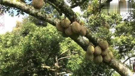 一年出七万个猫山王榴莲! 马来西亚华人的榴莲果园!
