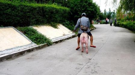 老大爷骑猪去赶集, 众人好奇围观, 交警看大爷笑得太开心, 罚他20块
