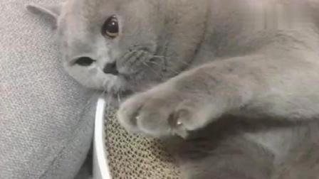 一只被主人拿刀屈服的猫, 好搞笑