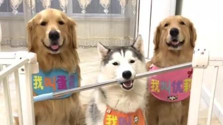 主人拿棍子测试三只狗狗的智商, 哈士奇的做法让人刮目相看