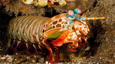 世界上最凶猛的虾, 能轻松击碎鱼缸, 中国吃货也不敢吃!