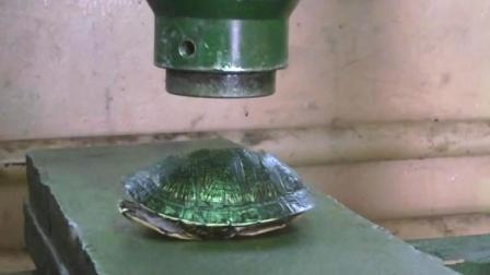 测试乌龟壳有多硬, 老外把空龟壳放液压机下, 结果很显然!