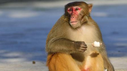女主人养个猴子, 却整天被猴子占便宜, 真逗