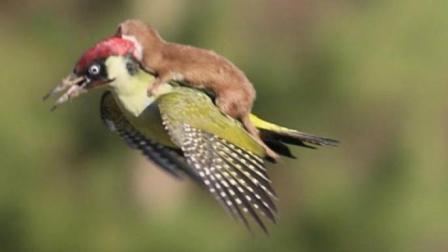 这些动物的奇葩行为, 喜欢搭顺风车, 是不是很可爱