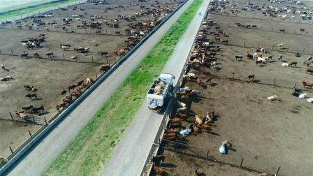 见过美国式喂牛, 就知道为什么他们牛肉产量最高了