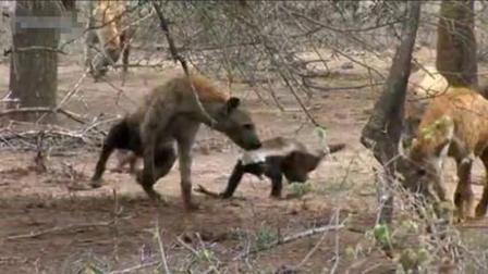 掏肛王鬣狗遇上非洲平头哥, 究竟鹿死谁手, 相机拍下全过程