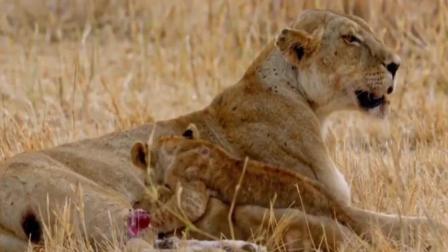奇闻趣事! 走进万兽之王非洲, 陆地上跑的最快的