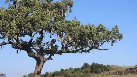 全球最有趣的树 长的果实和香肠一样