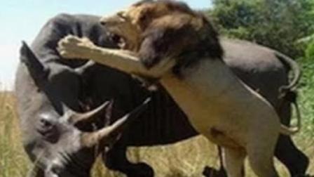 狮群捕猎成功, 准备进食时, 犀牛: 想不想尝尝牛角的滋味?