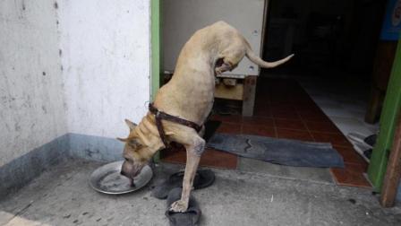 菲律宾狗狗天生无后腿靠两前腿坚强行走