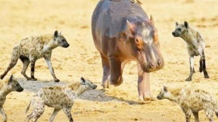 河马本想从鬣狗口中救出小牛, 没想到鬣狗竟把主意打到河马身上