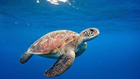 大海龟紧跟着游船不愿离开, 游客捞上来一看心都