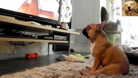 法国斗牛犬: 看什么看, 没见过狗看电视的啊