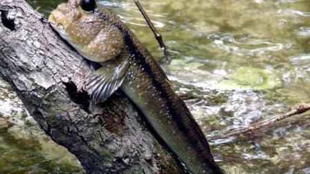 这种会爬树的鱼一年大部分的时候生活在陆地
