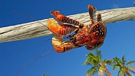 陆地上最大的螃蟹, 爱吃肉还会被淹死, 能爬到18米高的树顶休息