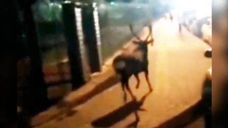 """北京街头惊现""""神兽"""" 穿街越巷一路小跑 园林局: 这是谁家丢的?"""