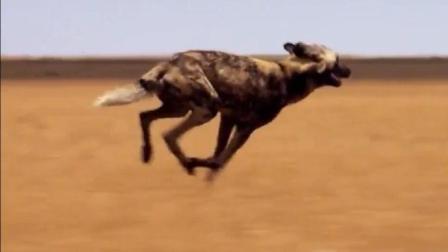 最艰难的挑战, 非洲野犬组团捕猎角马