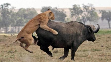 牛群首领带领大批野牛营救母牛, 一头雄狮被杀死