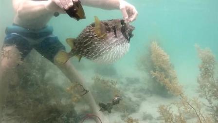 拯救陷在渔网中的刺豚, 圆滚滚的刺豚被拯救后欢