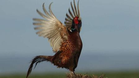 山鸡英勇迎敌, 击退大老鹰, 能击退大老鹰的动物