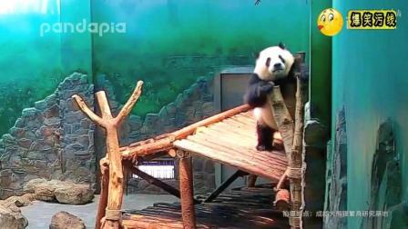 实拍熊猫囡囡做的所有努力都白费了, 被气的不要不要的