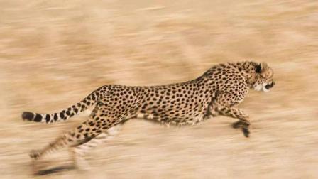 三只猎豹围杀鸵鸟, 谁才是非洲速度最快的猎食者