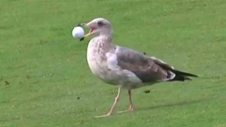 """鸟儿复仇心到底有多重? 自从被高尔夫球砸中, 就成了专业""""球手"""""""