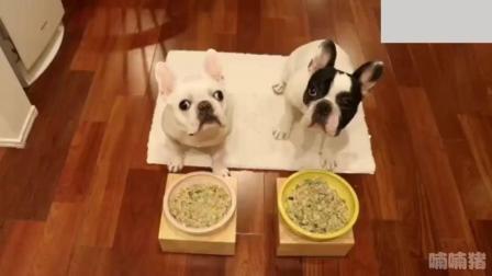 两只法斗犬比赛吃饭, 发出小猪般的声音, 好猛啊