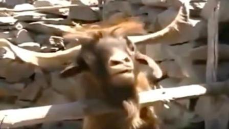 这只山羊像不像吵架时的你? 哈哈
