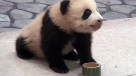 日本熊猫基地给国宝开发布会, 动物界大佬岂非浪