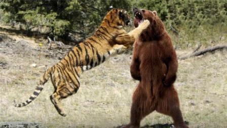 黑熊误入东北虎老巢, 场面太震撼, 镜头拍下了全过程!