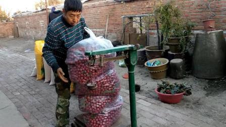 刘哥在农村: 两棵山楂树, 三百来斤山楂, 这山楂摘的太惊险了