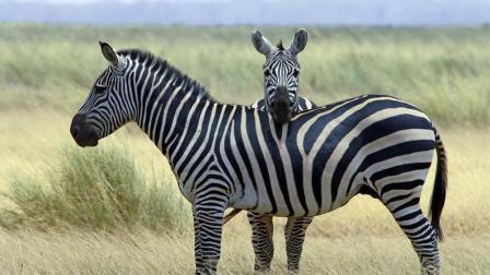 斑马是白色皮囊带黑色条玟, 还是黑色皮囊带白色条纹