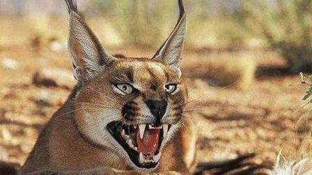 世界最凶猛的猫, 耳朵自带天线能轻松猎杀猎物, 狼都能被它咬死!