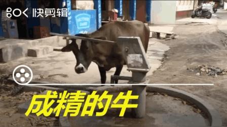 搞笑动物短视频: 成精的牛是怎么样喝水的