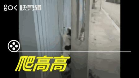 搞笑动物短视频: 谁说只有猫爬高?