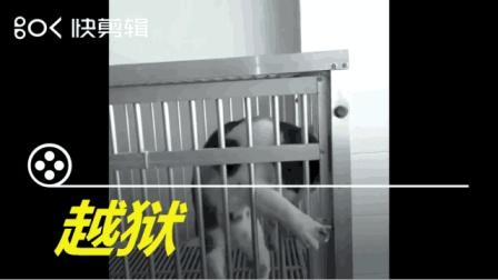 搞笑动物短视频: 越狱