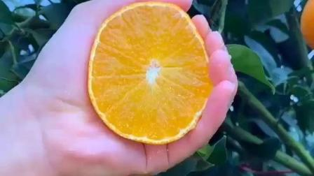 """爱媛果冻橙, 纯天然""""榨汁机"""", 2个橙子捏出一杯果汁, 香甜可口"""