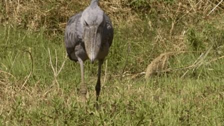 传说中能吃鳄鱼的鸟, 看脸我就知道, 它不简单!