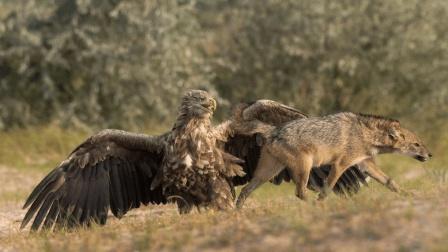 老鹰的自我防护, 拼尽全力去抵抗, 令我们感到震撼!