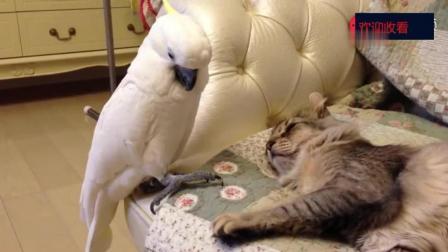 鹦鹉趁猫睡着, 想摸一摸, 纠结半天不敢下手, 最后直接下嘴