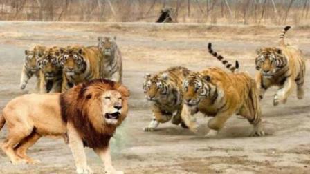 60秒告诉你老虎狮子谁更厉害! 怪不得石狮只配看大门, 看完恍然大悟!