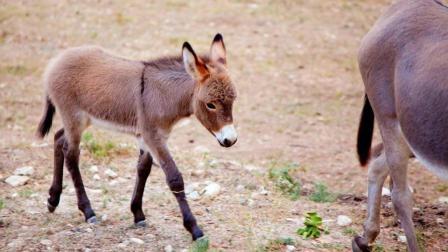 为什么骡子不能生育? 看看马和驴做了什么事, 今天真是涨见识了