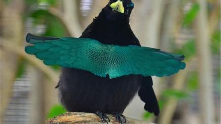 这鸟值得研究! 全身羽毛这么黑不是白长的, 堪比黑科技!