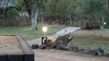南非一保护区上演花豹闪电捕食羚羊大戏