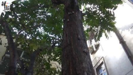 两棵香椿树下下胶 居民苦不堪言