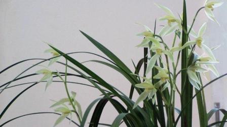 紫砂花盆高大上, 养兰花高贵大气, 栽种兰花要注意什么呢?