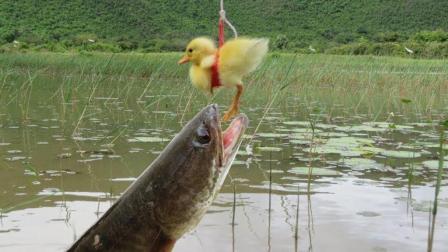 男子竟用活鸭子钓鱼, 最后竟真钓出个大家伙, 网友: 厉害了!