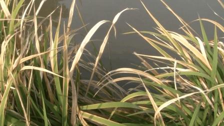 水草边上打窝传统钓鲫鱼, 鱼顶漂的那一瞬间真的很舒服