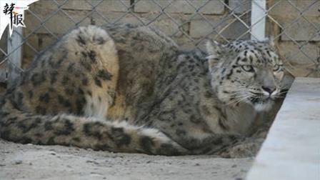 辣报 新华社资讯 在这里 一只被救助雪豹健康成长